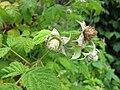 覆盆子 Rubus idaeus Malling Promise -比利時 Leuven Botanical Garden, Belgium- (9237478913).jpg