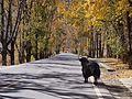 路上的牦牛 - Yak on Road - 2012.10 - panoramio.jpg