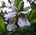 鴨咀花 Justicia adhatoda (Adhatoda vasica) -香港動植物公園 Hong Kong Botanical Garden- (9240277440).jpg
