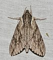- 7793 – Paratrea plebeja – Plebeian Sphinx Moth (43741540784).jpg