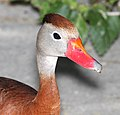 003 - BLACK-BELLIED WHISTLING-DUCK (4-19-12) convention center, south padre island, tx (2) (8707852098).jpg