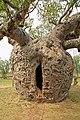 00 2000 Boab Prison Tree - Derby, Western Australia.jpg