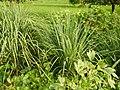 0369jfPulilan Balatong Manggo Fields grass Bulacanfvf 39.JPG