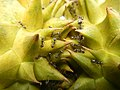 07302jfBlack ants eating Durians in the Philippinesfvf 19.jpg