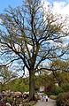 0 Couture-Saint-Germain - Chêne remarquable (Quercus x rosacea) des jardin d'Aywiers (1).JPG