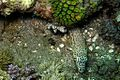 12-EastTimor-Dive Bubble Beach 36 (Sand Patcher Fish)-APiazza.JPG