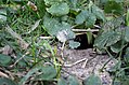 13-lined Ground Squirrel Home (23079202469).jpg