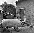 1958 visite d'une délégation INRA au Haras du Pin Cliché Jean Joseph Weber-5-1.jpg