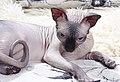 1 adult cat Sphynx. img 022.jpg