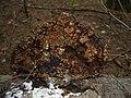 2008-03-28 Hypocrea pulvinata Fuckel 41075.jpg