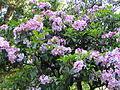 2008-06-07 Rhododendronpark Rathen.jpg