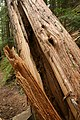 2011. Laminated root rot in western red cedar. Zigzag Ranger District, Mt. Hood National Forest, Oregon. (38723504715).jpg