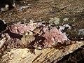 2012-02-24 Steccherinum fimbriatum (Pers.) J. Erikss 201035.jpg