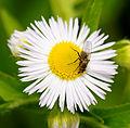 2012-06-04 14-24-19-diptere-sur-fleur.jpg