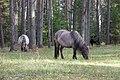 20121020-08(Engures ezera savvaļas zirgi).jpg
