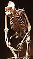 2013-03 Naturkundemuseum Skelett Schimpanse anagoria.JPG