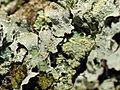 2014-01-06 13-08-34 lichen-12f.jpg