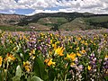 2014-06-24 12 17 46 Wildflowers east of Elko County Route 748 (Charleston-Jarbidge Road) along the border of the Mountain City and Jarbidge ranger districts in Copper Basin, Nevada.JPG