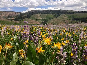 Humboldt-Toiyabe National Forest - Summer wildflowers in Copper Basin (Jarbidge and Mountain City ranger districts)