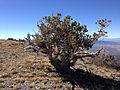 2014-10-03 12 42 28 Gnarled old Limber Pine near the summit of Diamond Peak, Nevada.JPG