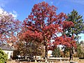 2014-11-02 12 07 20 White Oak during autumn at the Ewing Presbyterian Church Cemetery in Ewing, New Jersey.JPG