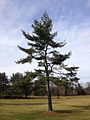 2014-12-30 11 36 16 Eastern White Pine along Lower Ferry Road (Mercer County Route 643) in Ewing, New Jersey.JPG