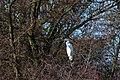 20140202 027 Kessel Weerdbeemden Grote Zilverreiger (12273946455).jpg