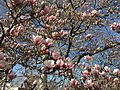 2015-04-12 17 18 36 Saucer Magnolia blossoms on Princeton Avenue in Lawrence, New Jersey.jpg