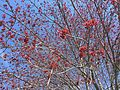 2015-04-13 10 37 51 Female Red Maple flowers on Madison Avenue in Ewing, New Jersey.jpg