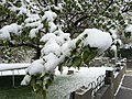 2015-05-07 07 15 07 New green leaves covered by a late spring wet snowfall on a Crabapple on Carlin Court in Elko, Nevada.jpg