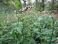20150818Persicaria hydropiper1.jpg
