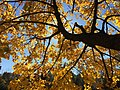 2016-11-18 11 40 10 Norway Maple autumn foliage in Franklin Farm Park in the Franklin Farm section of Oak Hill, Fairfax County, Virginia.jpg