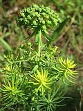 20160718Euphorbia cyparissias1.jpg