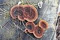 20161225 Gloeophyllum sepiarium 3.jpg