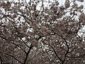 2017-04-03 15 40 16 White Flowering Cherry flowers along Scotsmore Way near Caroline Court in the Chantilly Highlands section of Oak Hill, Fairfax County, Virginia.jpg