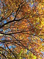2017-11-10 15 01 35 View up into the canopy of a Pin Oak during late autumn along Dairy Lou Drive near Franklin Farm Road in the Franklin Farm section of Oak Hill, Fairfax County, Virginia.jpg