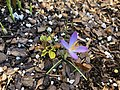 2018-02-20 15 54 38 A crocus blooming along Tranquility Court in the Franklin Farm section of Oak Hill, Fairfax County, Virginia.jpg