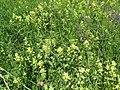 2019-06-07 (102) Rhinanthus alectorolophus (European yellow rattle) at Bichlhäusl, Tiefgrabenrotte, Frankenfels, Austria.jpg