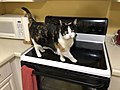 2020-04-27 19 05 12 A Calico cat looking for food in a kitchen in the Franklin Farm section of Oak Hill, Fairfax County, Virginia.jpg