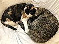 2020-05-13 00 29 35 A Calico cat and a tabby cat cuddling while sleeping on a couch in the Franklin Farm section of Oak Hill, Fairfax County, Virginia.jpg