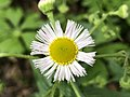 2021-04-24 16 23 08 Daisy Fleabane flower along a walking path in the Franklin Glen section of Chantilly, Fairfax County, Virginia.jpg