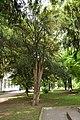 46-106-5009 Drohobych Taxus Baccata RB 18.jpg