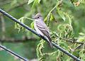 5331 olive-sided flycatcher munsel odfw (5881408017).jpg