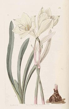 54 Zephyranthes concolor.jpg