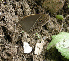 AB037 whiteline Bushbrown UN.JPG