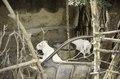ASC Leiden - van Achterberg Collection - 03 - 52 - Hôtel Auberge. Deux chèvres blanches sont assises sur le sol - Ségou, Mali - novembre-décembre 1993.tif