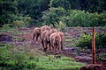 A Group of Baby Elephants Race for Food from Caretakers at the Sheldrick Elephant Orphanage (16737778013).jpg