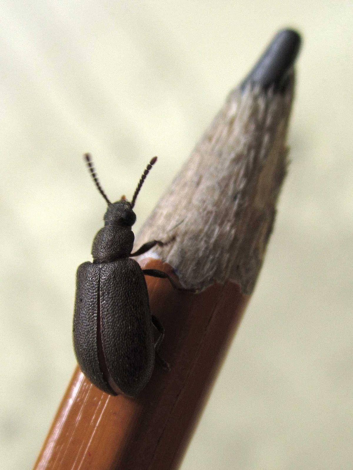 . Mupli beetle   Wikipedia