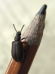 A Luprops beetle resting on a pencil (Tenebrionidae, Coleoptera).jpg