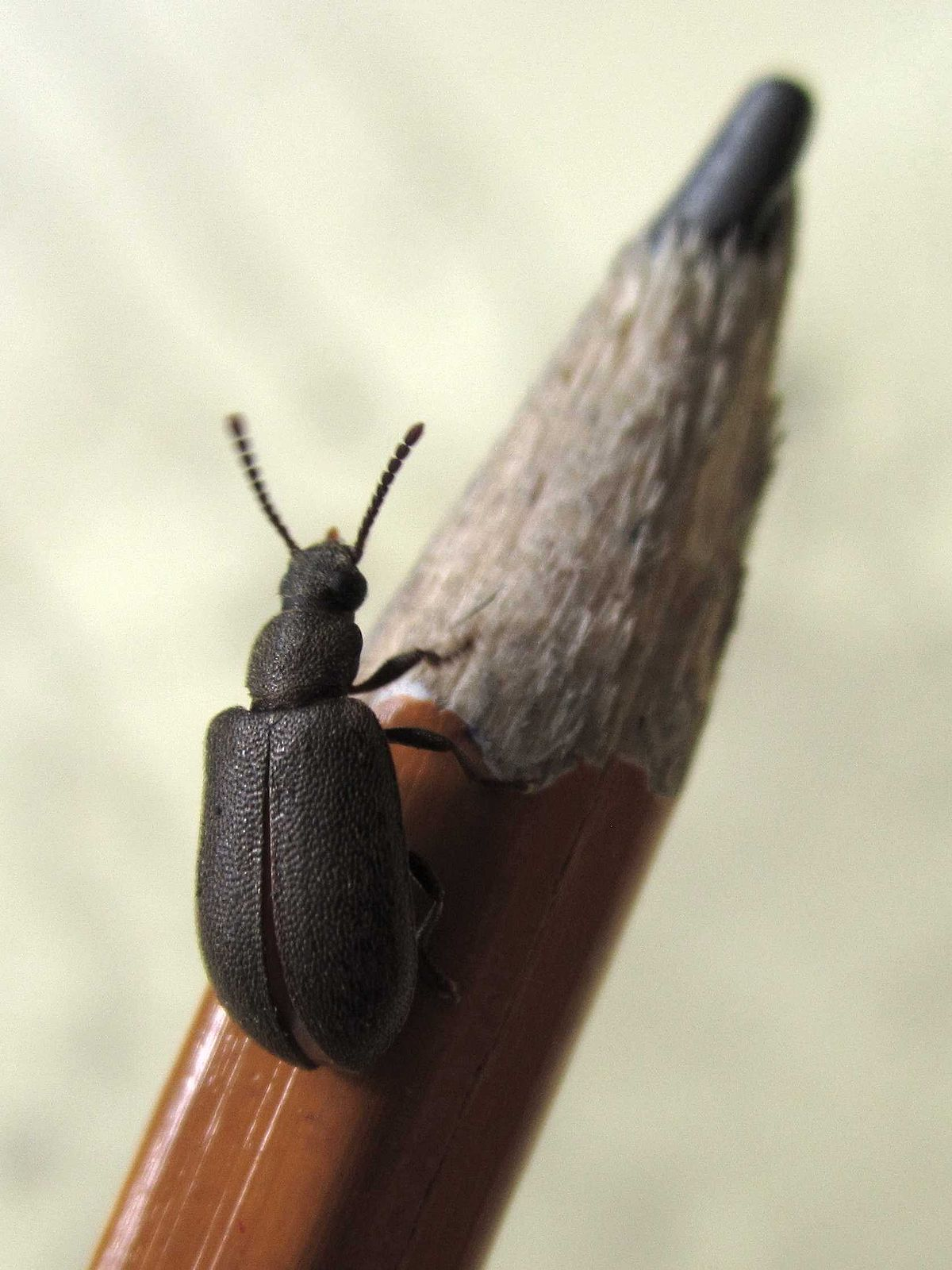 Mupli Beetle